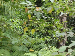 Happily growing and fruiting amongst native vegetation by creek no rootstock required