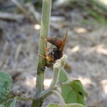 Native Paper Wasp making a right mess of a 3-Striped Potato Beetle Larva